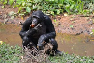 Un gorile en RDC, qui cherche à se nourrir